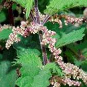 אחד הצמחים הוותיקים שחזרו להפתיע את העולם הטיפולי, הסירפד